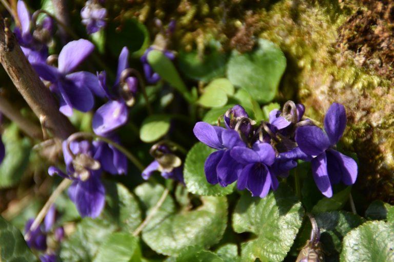 edito-charles-violettes